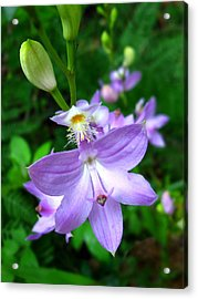 Grass Pink Orchid Acrylic Print by William Tanneberger