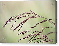 Grass Seed Acrylic Print