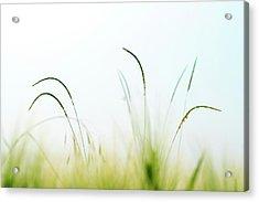 Grass Acrylic Print by Wladimir Bulgar/science Photo Library