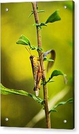 Grasshopper Days Acrylic Print