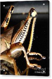 Grasshopper Legs Acrylic Print by Nola Hintzel