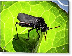 Grasshopper On A Leaf Acrylic Print by Philippe Psaila