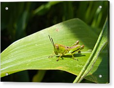 Grasshopper On Corn Leaf   Acrylic Print