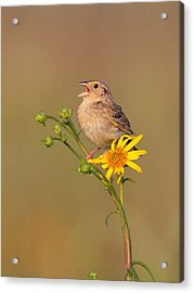 Acrylic Print featuring the photograph Grasshopper Sparrow Singing by Daniel Behm
