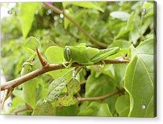 Grasshopper Acrylic Print by Steve Allen/science Photo Library