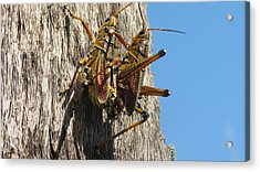 Grasshoppers Acrylic Print