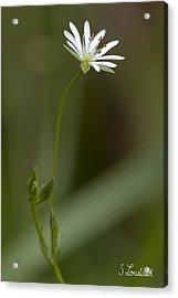 Grassleaf Starwort Acrylic Print by Stephane Loustalot