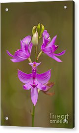 Grasspink #1 Acrylic Print by Paul Rebmann
