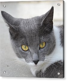 Gray Cat - Listening Acrylic Print
