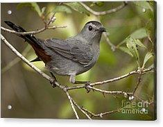 Acrylic Print featuring the photograph Gray Catbird by Meg Rousher