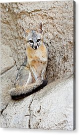Gray Fox (urocyon Cinereoargenteus Acrylic Print by Larry Ditto
