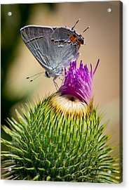 Acrylic Print featuring the photograph Gray Hairstreak On Thistle by Janis Knight