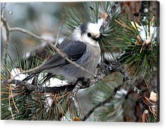 Gray Jay On A Snowy Pine Acrylic Print