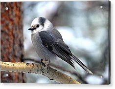 Gray Jay On Aspen Acrylic Print