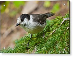 Gray Jay On Fir Tree Acrylic Print