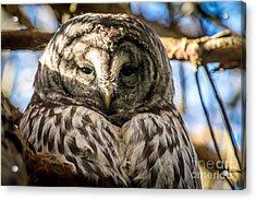 Gray Owl Acrylic Print by Sabine Edrissi