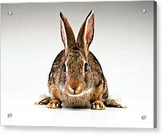 Gray Rabbit Bunny  Acrylic Print by Lanjee Chee