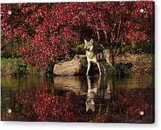 Gray Wolf At Waters Edge Acrylic Print