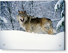 Gray Wolf In Snow, Montana, Usa Acrylic Print