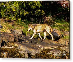 Gray Wolf Acrylic Print by Robert Bales