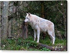 Gray Wolf White Morph Acrylic Print by Mark Newman