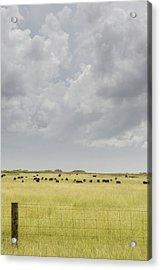 Grazing Angus Cattle Acrylic Print