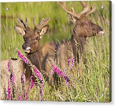 Acrylic Print featuring the photograph Grazing At Dusk by Todd Kreuter