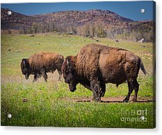 Grazing Bison Acrylic Print by Inge Johnsson