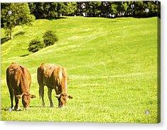 Grazing Cows Acrylic Print by Amanda Elwell