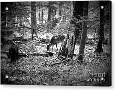 Grazing Deer Acrylic Print