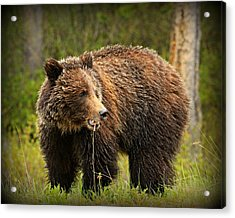 Grazing Grizzly Acrylic Print by Stephen Stookey