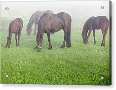 Grazing In The Morning Fog Acrylic Print