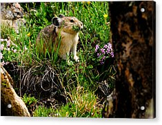 Grazing Pika Acrylic Print by Bonnie Fink
