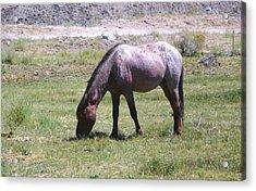 Grazing Stallion Acrylic Print by Amy Ernst