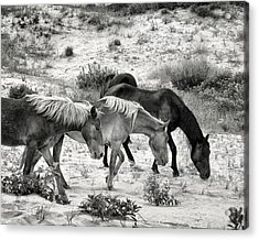 Grazing Acrylic Print by William Beuther
