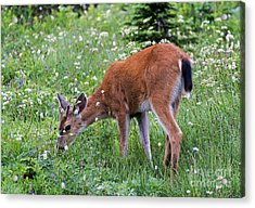 Grazing Young Buck Acrylic Print by Mike Dawson