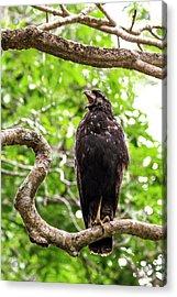 Great Black Hawking Calling In A Tree Acrylic Print
