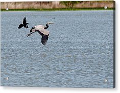 Great Blue Chased By A Grackle Acrylic Print by Roy Williams