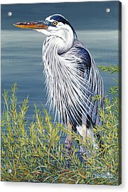 Great Blue Acrylic Print by Danielle  Perry