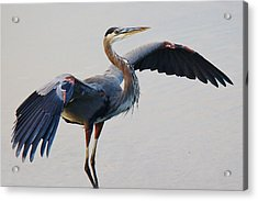 Great Blue Heron - # 21 Acrylic Print by Paulette Thomas