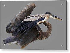 Great Blue Heron - # 4 Acrylic Print by Paulette Thomas