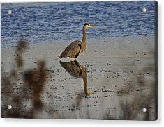 Great Blue Heron 1 Acrylic Print by SC Heffner