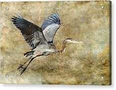 Great Blue Heron 2 Acrylic Print by Angie Vogel