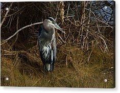 Great Blue Heron 2 Acrylic Print by Greg Vizzi