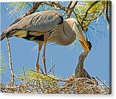 Great Blue Heron Adult Feeding Nestling Acrylic Print by Millard H. Sharp