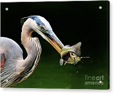 Great Blue Heron And The Catfish Acrylic Print by Kathy Baccari