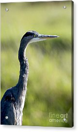 Great Blue Heron Backlit Acrylic Print