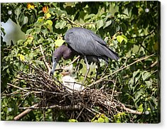 Great Blue Heron Chicks In Nest Acrylic Print