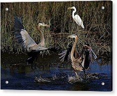Great Blue Heron Courtship Acrylic Print by Paulette Thomas