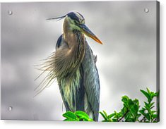 Great Blue Heron Acrylic Print by Dennis Baswell
